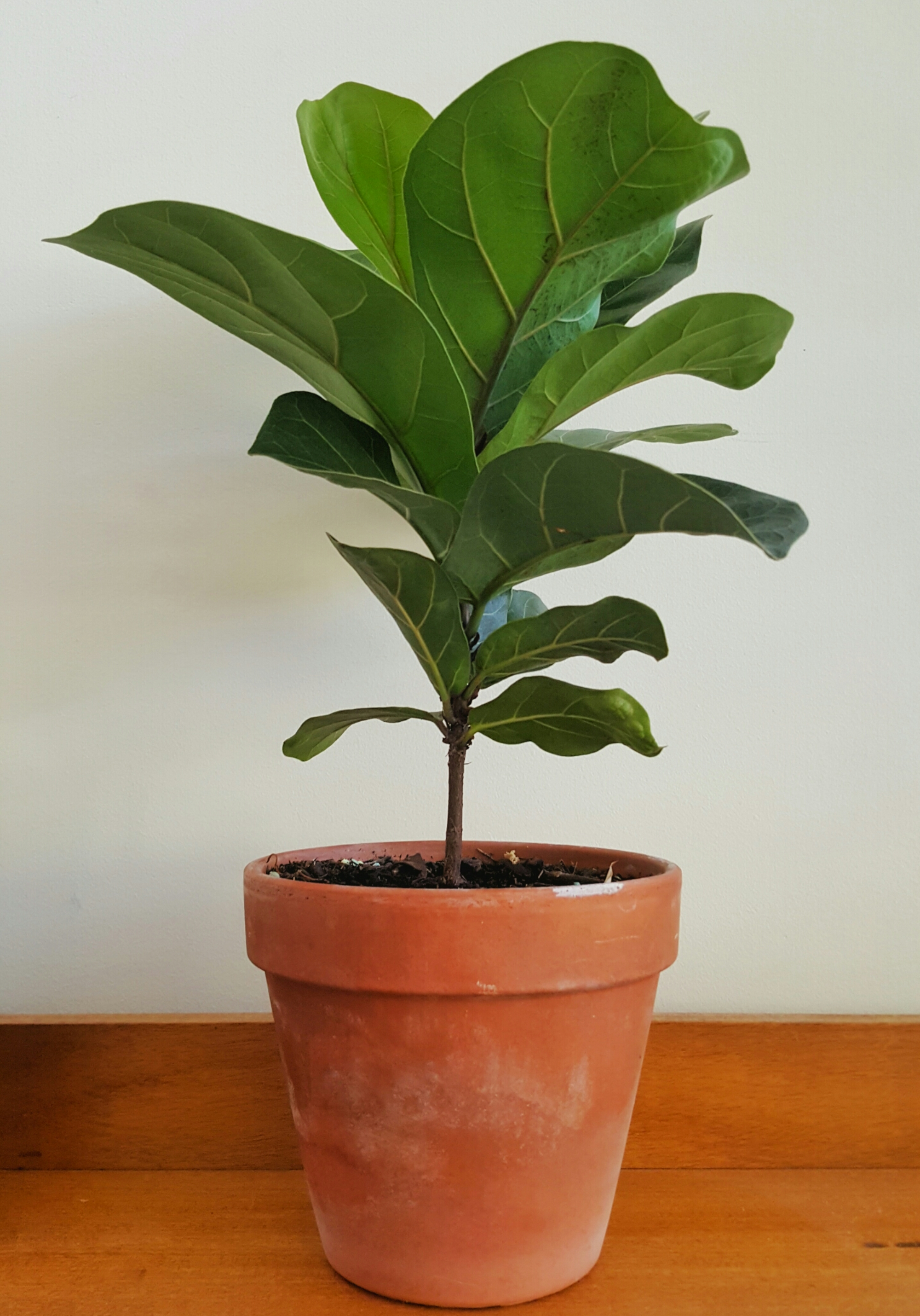 fiddle leaf fig in a simple terracotta pot